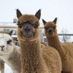 alpacas MayaCom