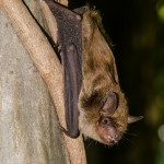 big brown bat on tree credit JasonOndreicka