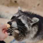 raccoon being fed credit maximfesenko
