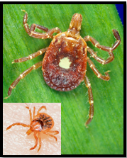 Adult female and nymph (inset photo) Lone Star Ticks transmit Ehrlichiosis (Photo: Bill Eaker)