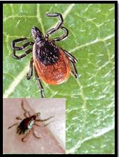 Adult female and nymph (inset photo) Blacklegged Ticks transmits Anaplasmosis (Photo: Graham Hickling)