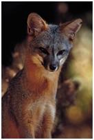 fox_rabies1