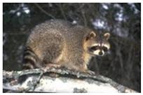racoon_rabies1