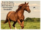 Image of a horse running for Chesapeake Horse Owners Alert on Equine Encephalitis.